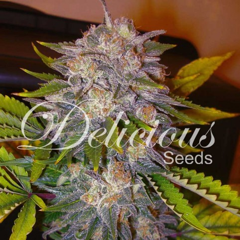 Caramelo F1 Rapid Cannabis Seeds