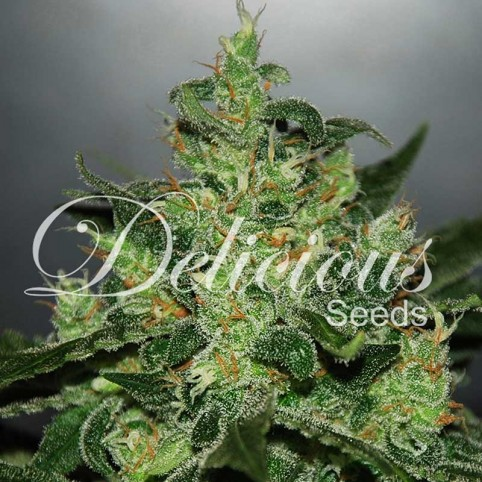 Critical x Jack Herer Auto Cannabis Seeds