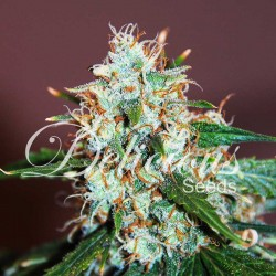 Critical Neville Haze Cannabis Seeds