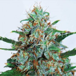 Critical Neville Haze Auto Cannabis Seeds