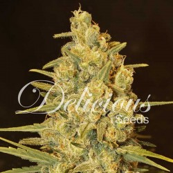 Critical Sensi Star Cannabis Seeds