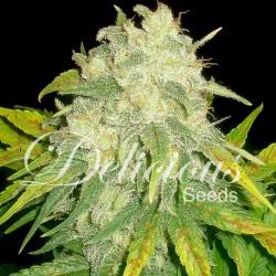 Il Diavolo Cannabis Seeds