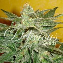 La Frutta Di Venus Cannabis Seeds