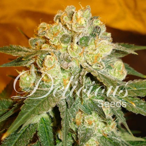 Marmalate Cannabis Seeds
