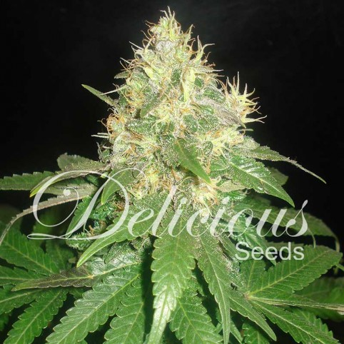 Northern Light Blue Cannabis Seeds