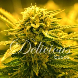 Sugar Black Rose F1 Rapid Cannabis Seeds