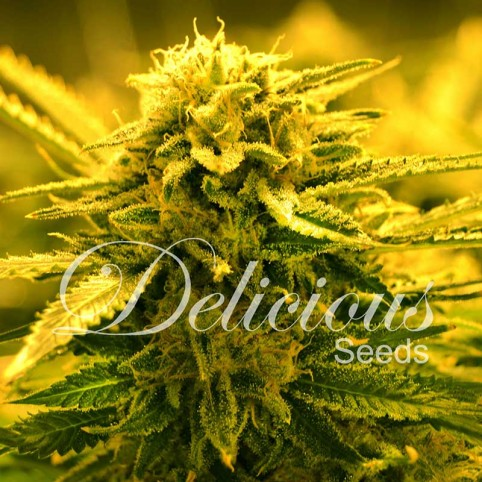 Sugar Black Rose F1 Rapid Cannabis Seeds