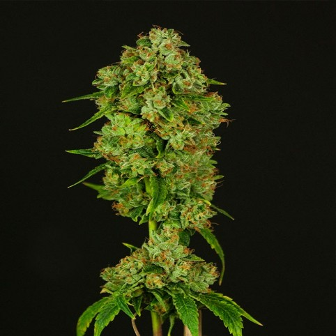 Casey Jones Cannabis Seeds