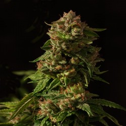 Fallen Angel - Cannabis Seeds