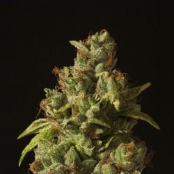Rollex OG Kush - Cannabis Seeds