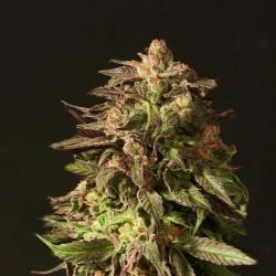 Shoreline - Cannabis Seeds