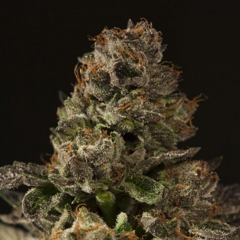 Strawberry Sour Diesel - Cannabis Seeds - Devil's Harvest