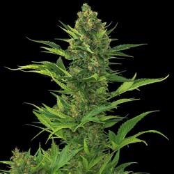 Amnesia XXL Auto - Cannabis Seeds