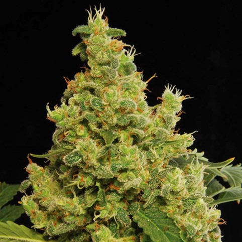 Blue Hash Cannabis Seeds