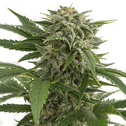 Bubba Kush Auto Cannabis Seeds