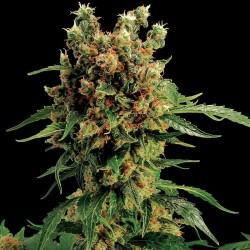 Cali Hash Plant Cannabis Seeds