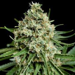 Critical + 2.0 Cannabis Seeds