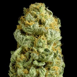 Critical Cheese Cannabis Seeds