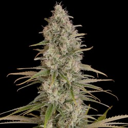 Critical Jack Cannabis Seeds