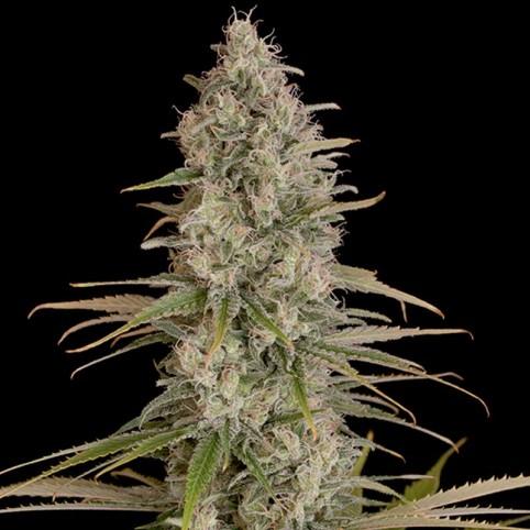 Critical Jack Cannabis Seeds