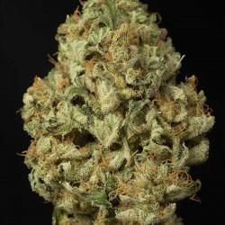 Dinamex Auto Cannabis Seeds