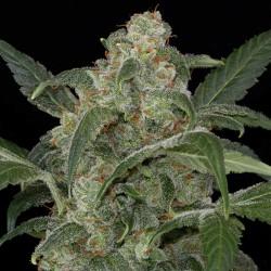 Haze #2 Automatic Cannabis Seeds