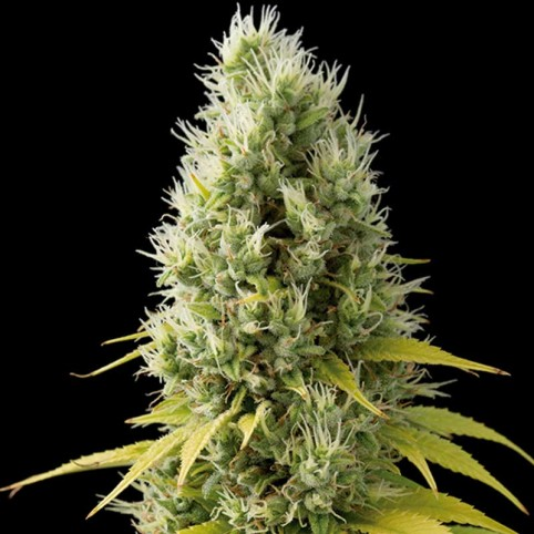 Shark Shock CBD Cannabis Seeds