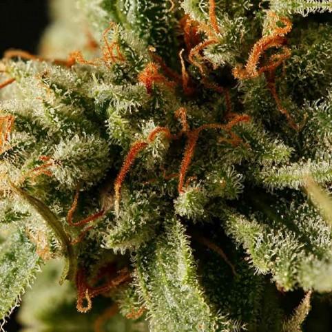 Sweet Deep Grapefruit Cannabis Seeds