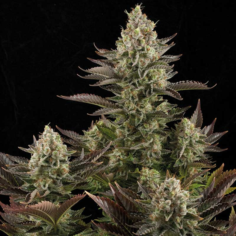 white widow weed marijuana - photo #19