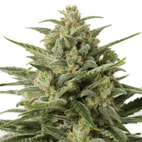 White Widow XXL Auto Cannabis Seeds