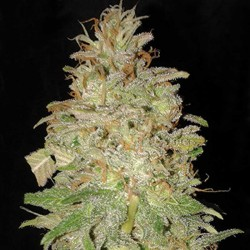 Chocolate Orange Auto Cannabis Seeds