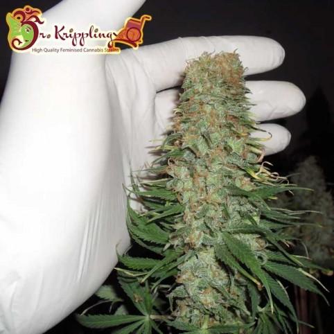 Mango Chutney Dr Krippling