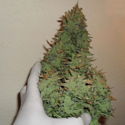 Smokin' Gun Auto Cannabis Seeds