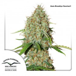 Auto Brooklyn Sunrise - Cannabis Seeds