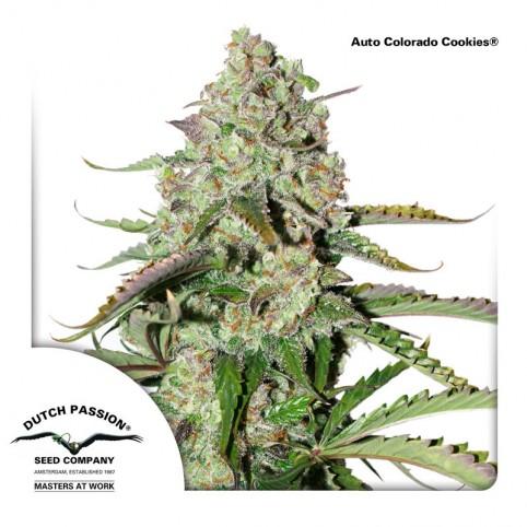 Auto Colorado Cookies - Cannabis Seeds
