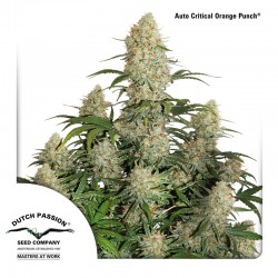 Auto Critical Orange Punch - Cannabis Seeds
