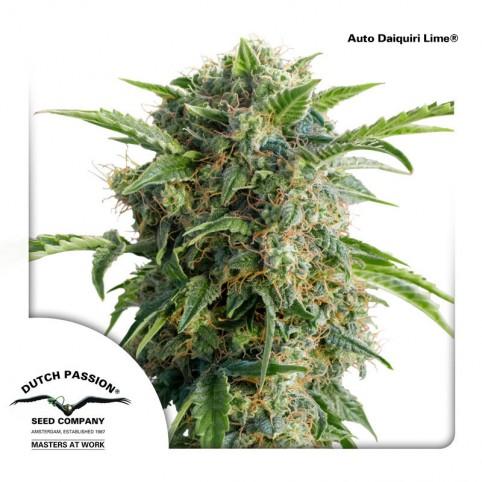 Auto Daiquiri Lime - Cannabis Seeds
