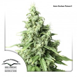 Auto Durban Poison Dutch Passion