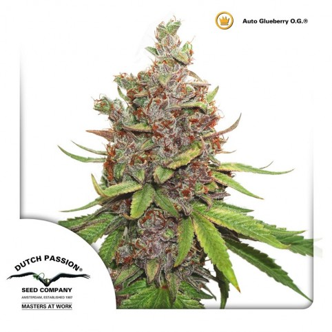 Auto Glueberry OG - Cannabis Seeds