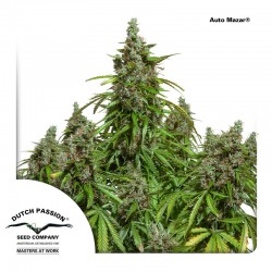Auto Mazar - Cannabis Seeds - Dutch Passion
