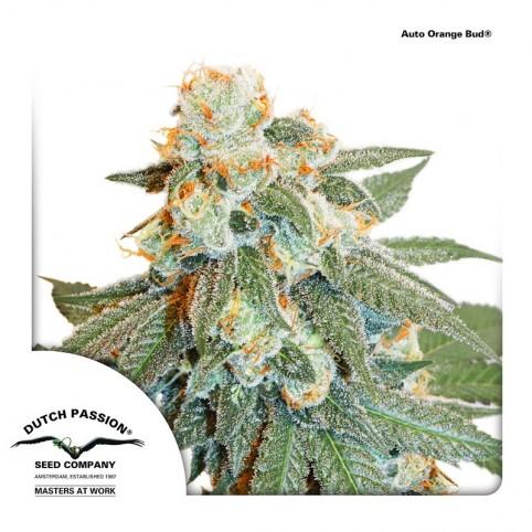 Auto Orange Bud - Cannabis Seeds