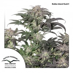 Bubba Island Kush - Cannabis Seeds
