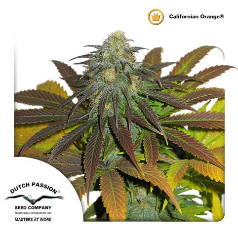 Californian Orange - Cannabis Seeds