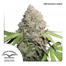 CBD Charlotte's Angel Cannabis Seeds
