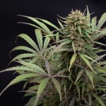 ComPassion Cannabis Seeds