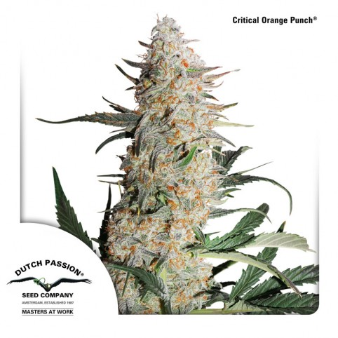 Critical Orange Punch - Cannabis Seeds