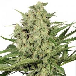 Dutch Cheese Cannabis Seeds