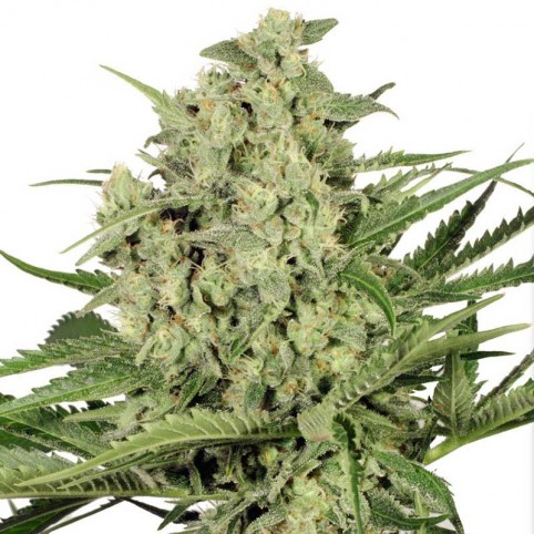 Dutch Cheese Cannabis Seeds