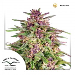Frisian Dew Cannabis Seeds