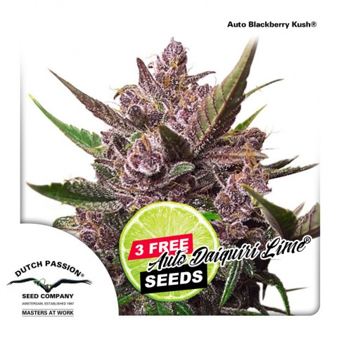 Auto Blackberry Kush - Cannabis Seeds